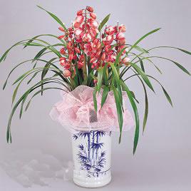 赣州绿植花卉-如意-大花蕙兰