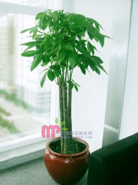 北京绿植花卉-发财树