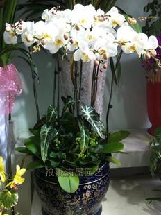 济南绿植花卉-白色蝴蝶兰