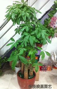 厦门绿植花卉-大型发财树
