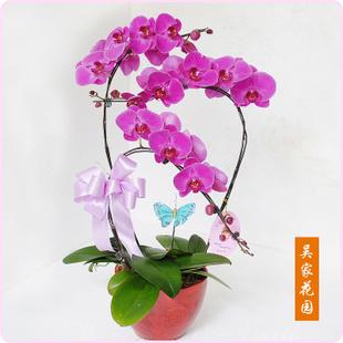 北京绿植花卉-蝴蝶兰