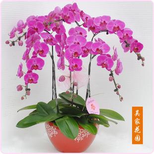 丽水绿植花卉-蝴蝶兰