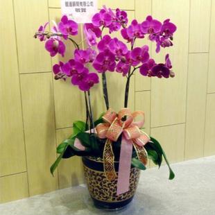 济南绿植花卉-蝴蝶兰