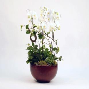 赣州绿植花卉-蝴蝶兰
