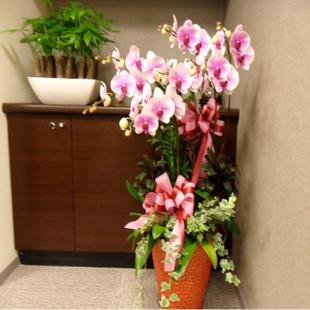 台州绿植花卉-蝴蝶兰
