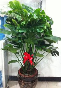 乌鲁木齐绿植花卉-龟背竹