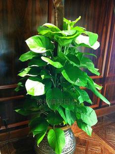 上海绿植花卉-大叶绿萝