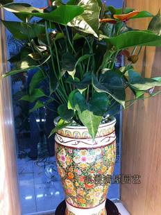 台州绿植花卉-彩掌