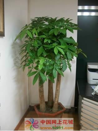 北京绿植花卉-发财树2