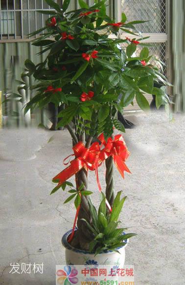 济南绿植花卉-发财树4