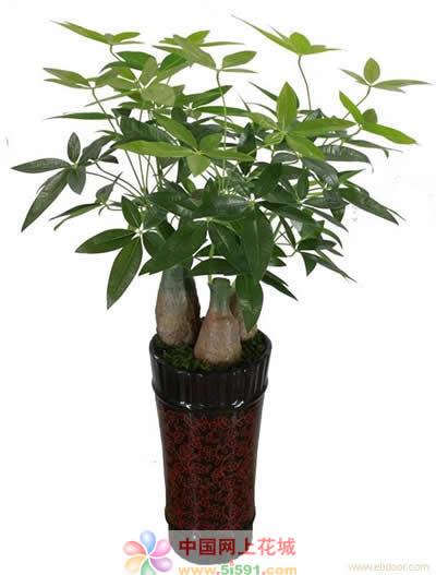 济南绿植花卉-发财树7