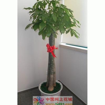 贵阳绿植花卉-发财树8