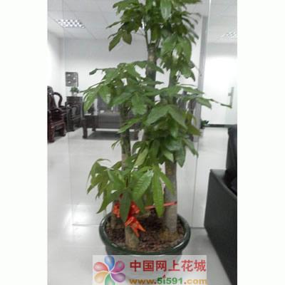 锦州绿植花卉-发财树9
