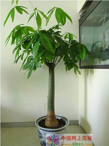 发财树10