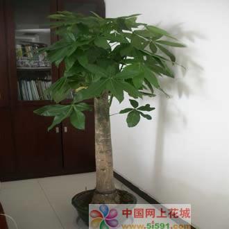 丽水绿植花卉-发财树14