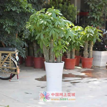 上海绿植花卉-发财树16