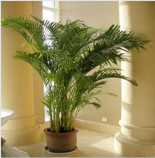 中山绿植花卉-散尾葵1