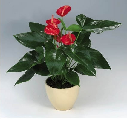 厦门绿植花卉-红掌2