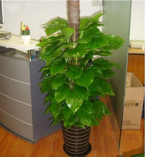赣州绿植花卉-大叶绿萝