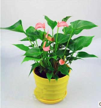 贵阳绿植花卉-粉掌