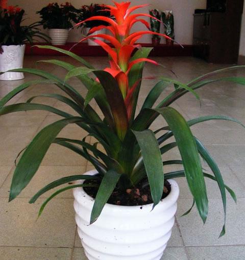 济南绿植花卉-凤梨