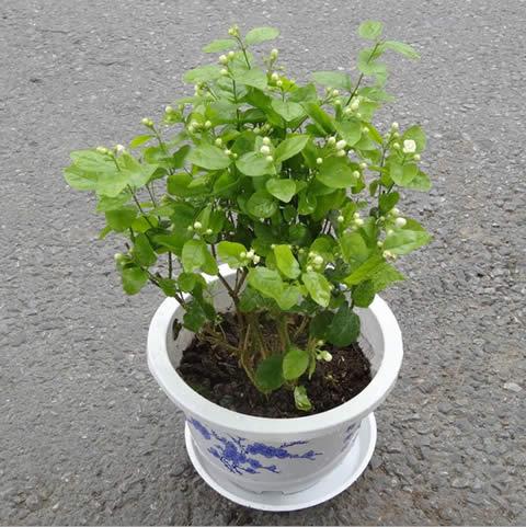 丽水绿植花卉-茉莉花