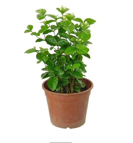 贵阳绿植花卉-茉莉2