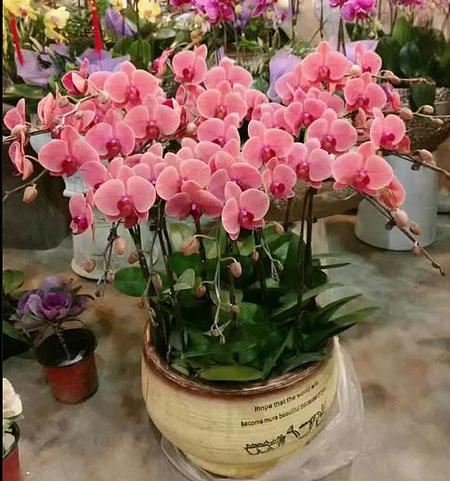 广州绿植花卉-蝴蝶兰