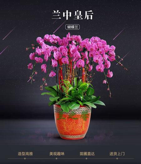 中山绿植花卉-蝴蝶兰